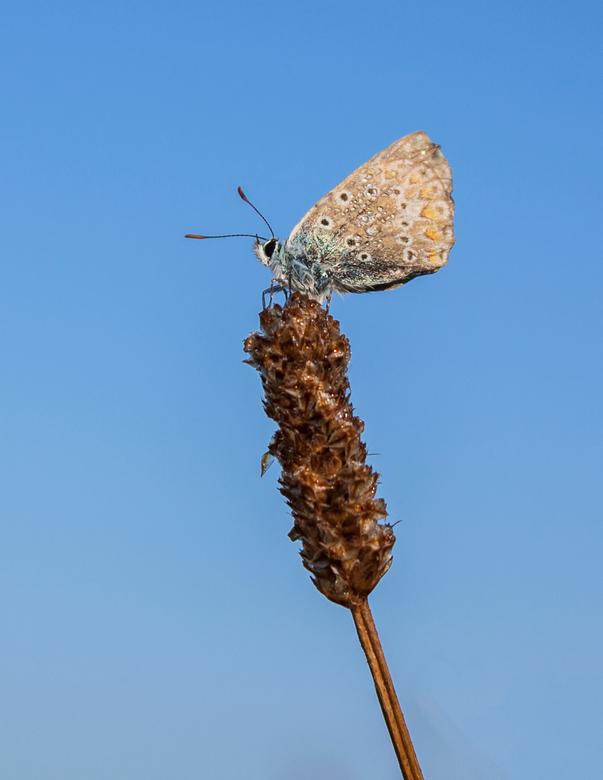 icarusblauwtje -