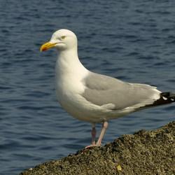 Vogel serie 181. Zilvermeeuw.