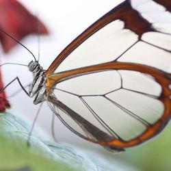 Glasvlinder