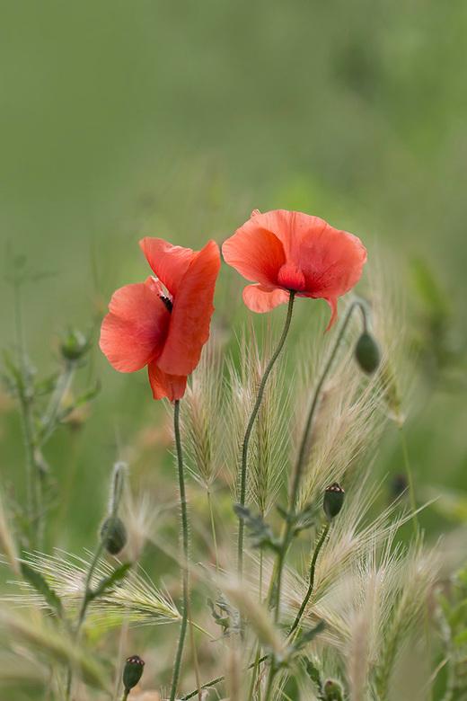 Veldbloemen boeket - Zag deze klaprozen dicht bij huis tussen een bosje grasaren uitsteken en dacht meteen: veldbloemen boeket. De kleur is ook heel a