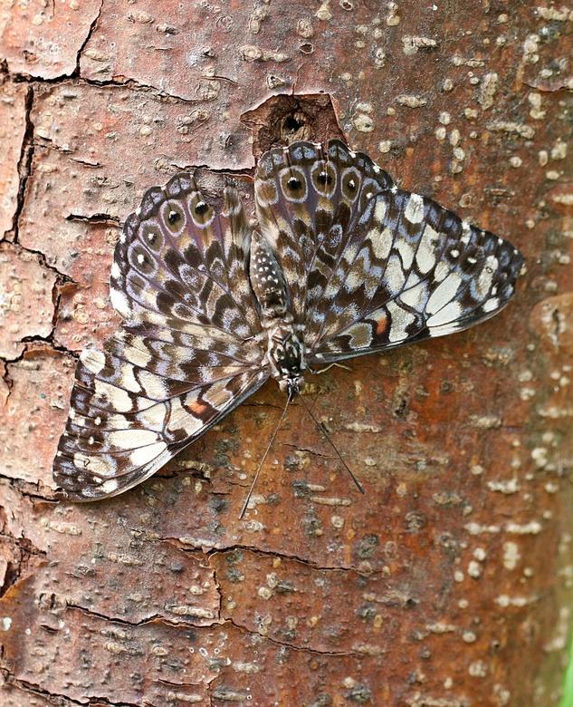 Hamadryas februa - De Hamadryas noemt men ook wel de crackervlinder. Deze naam heeft de grijskleurige vlinder te danken aan het knetterende geluid dat