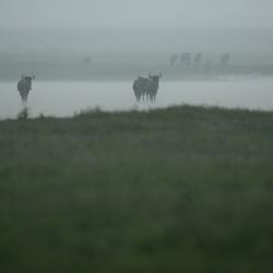 Bizons in de volle regen
