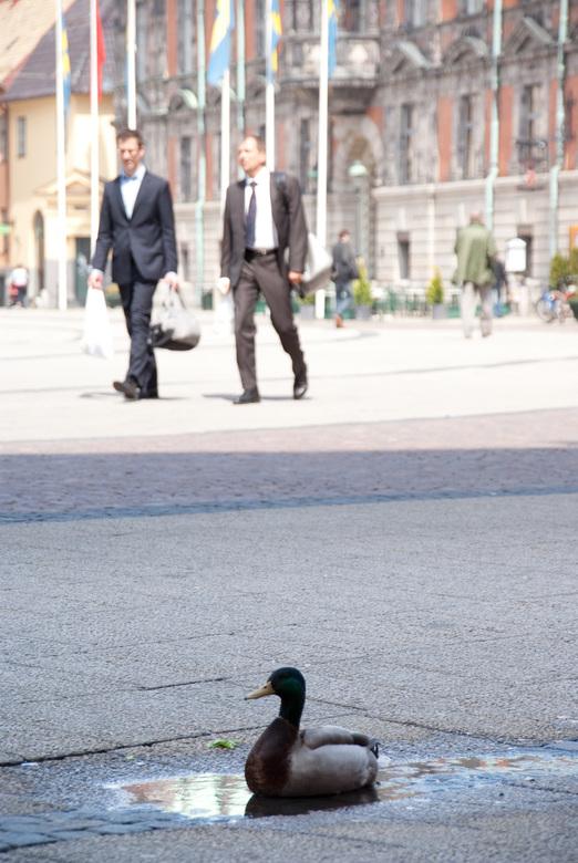 Als een eend in malmö - Een kort middagje struinen door de stad Malmö. Dan is deze eend wel het laatste wat je verwacht tegen te komen.