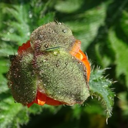 papaver met insekt