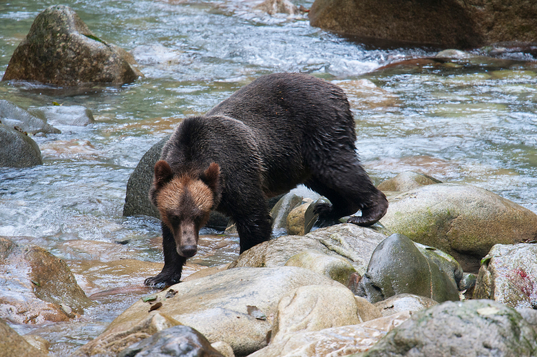 Grizzly 2 - Tijdens een grizzly excursie op twee uur varen van Campbell River, zagen we, op de terugweg naar de boot, nog een grizzly. Het begon al ee