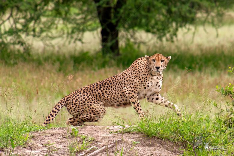 Tarangire National Park - Tijdens safari in Tarangire National Park kwamen we deze cheeta tegen. Ze is heel allert omdat er nog een jonge cheeta verbo