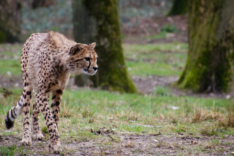 Cheetah gefocust -