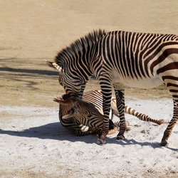 Zebramoeder en veulen