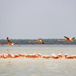 Flamingo's in formatie