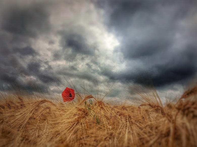 cloudy poppy