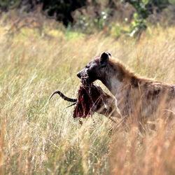 Hyena -2-