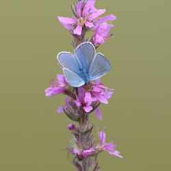 Icarusblauwtje man (Polyommatus icarus)