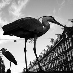 De reigers in Amsterdam
