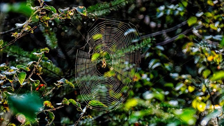 Spinnenweb - Spin in een door de zon belicht spinnenweb.