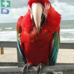 Groenvleugel Ara Poemke (28 jaar) bij het strand van Domburg, 27-8-2018.