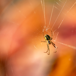 Autumn spider