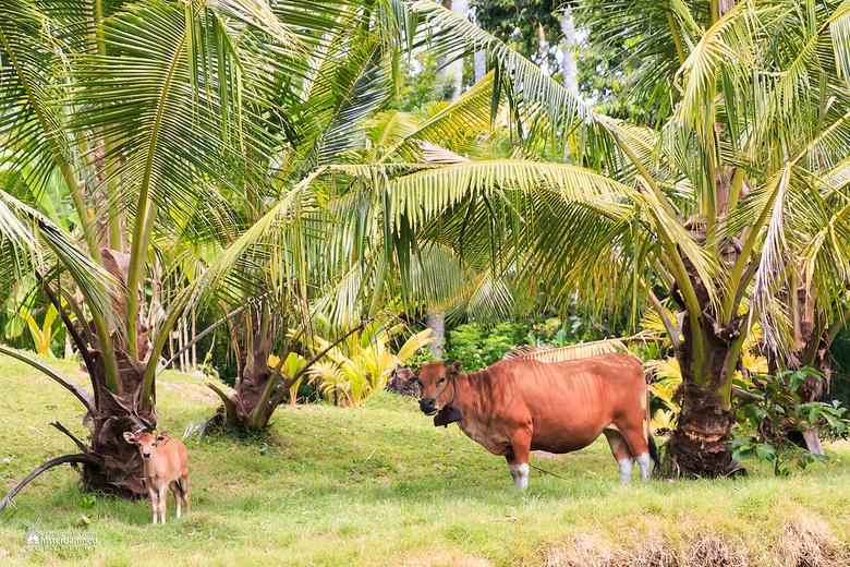 Indonesie - Ik denk eerder dat hier op het veldje in Bali een kokosnootoverschot is ipv een mestoverschot ....