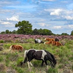 Pony's in de'' Groote peel''