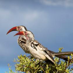 Namibië zuidelijke roodsnaveltok