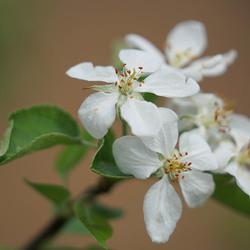 Appelbloesem