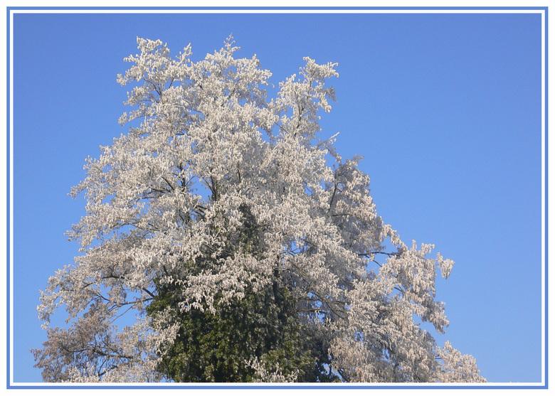Groen-witte boom - Het aparte hiervan is dat de klimop mooi groen gebleven is en dat de takken erom heen prachtig wit kleurden tegen de blauwe achterg