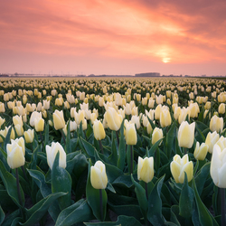 Tulips Zeeland