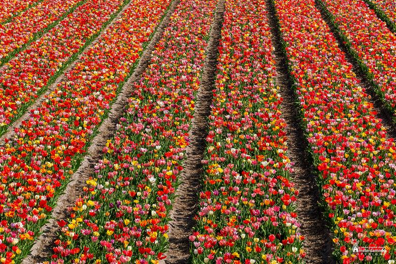 Bloembollenvelden - Tulpenvelden met tulpen in alle mogelijke kleuren in de buurt van Hillegom.