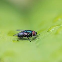 Vlieg in het groen