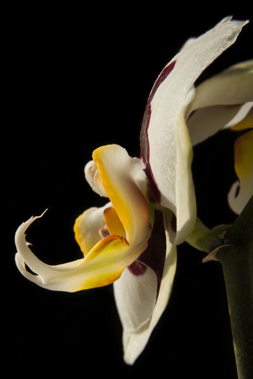 Orchidee - Een orchidee in onze vensterbank.<br /> <br /> Graag jullie mening hierover.