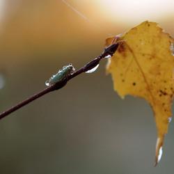 Cicade