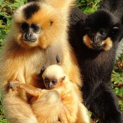 Fam. Goudwang Gibbon