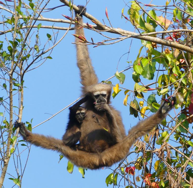 Hoolock Hoolock - Wilde Western Hoolock Gibbons in Assam, 20 meter boven de drukke weg, in de vroege ochtendzon, lekker aan het ontbijten. Helaas op d
