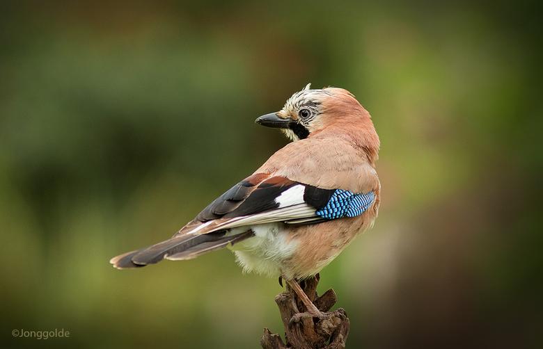 Gaai  ... - Ik heb al veel foto's van vogels geplaatst maar de Vlaamse gaai nog niet. Voilà !  Hij had zich al een tijdje niet meer laten zien, m
