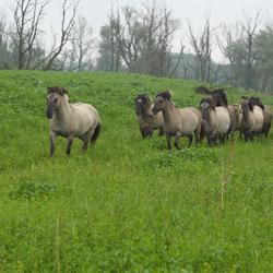 konikpaarden 2