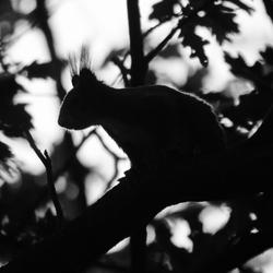 Eekhoorn bij het laatste licht