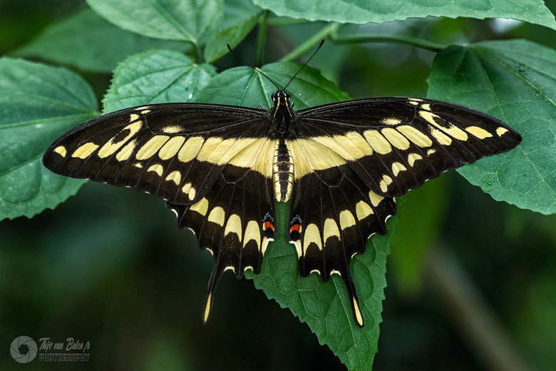 Papilio thoas - Papilio thoas is een vlinder uit de familie van de pages (Papilionidae). De spanwijdte bedraagt tussen de 100 en 130 millimeter.<br />