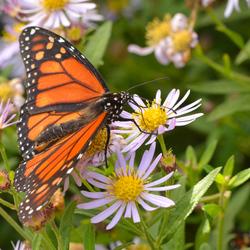 Danaus Plescippus (Monarch-vlinder)