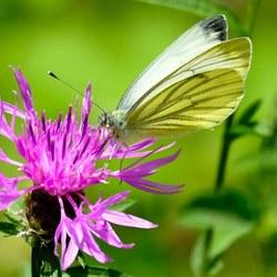 Vlinder in Gerendal