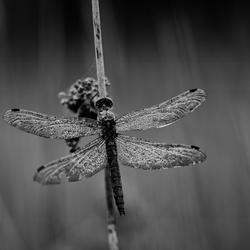 Dragonfly @ end of season