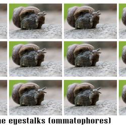 Growth of the snail's eyestalks (ommatophores)