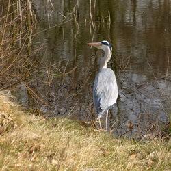 Vogel serie 259. Blauwe reiger