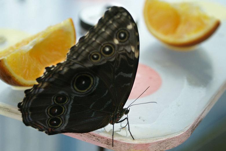 Vlinder aan het eten - tijdens een familie uitje belandden we in de vlindertuin van Artis. Schitterende vlinder vlogen er rond, maar het is moeilijk z