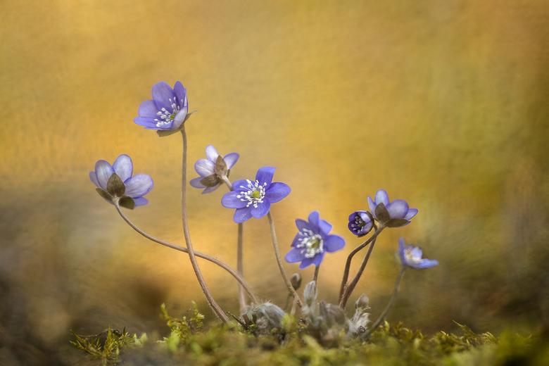 Leverbloempjes - Ook een lente bode, het leverbloempje..............