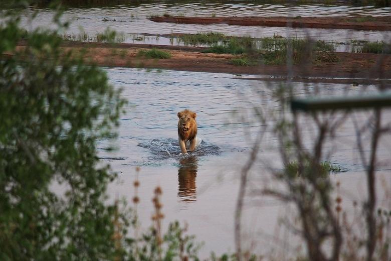 Leeuw door de rivier - Niet al te scherpe foto, maar wel een prachtig moment dat eeuwig in men geheugen gegrift zal staan.