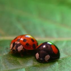 Lady Bug (2)