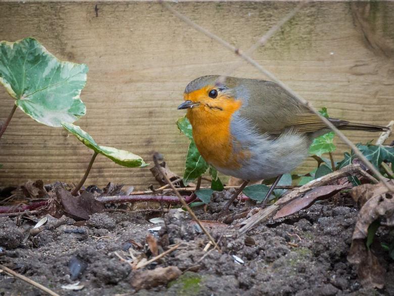Roodborst - Rondscharrelend in onze achtertuin