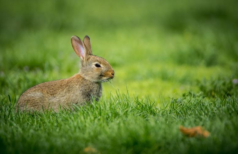Konijntje - Dit konijntje liep op de begraafplaats toen ik het zag. Ik ben steeds een stukje dichterbij gaan sluipen. Dit is het resultaat.