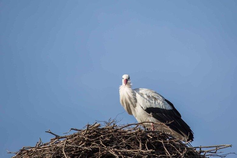 Ooievaar op het nest -