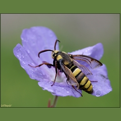 Horzel Vlinder *