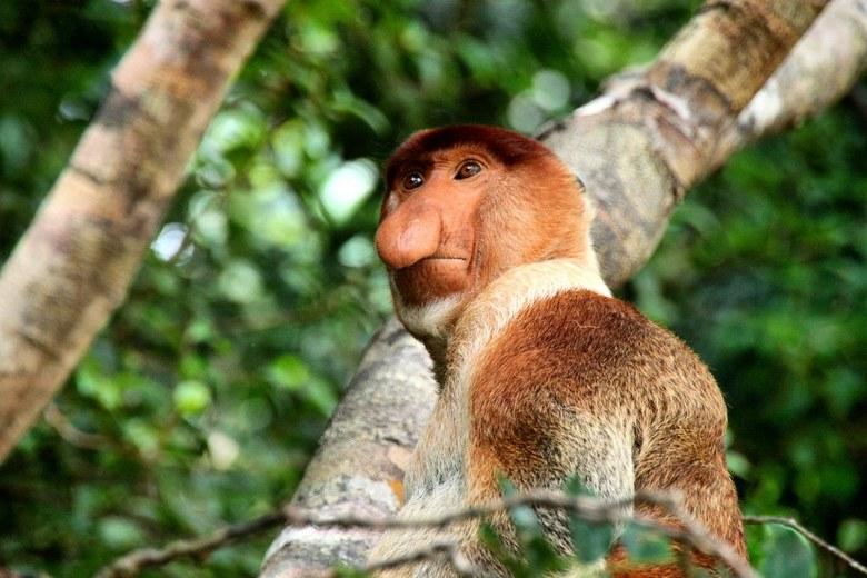 Proboscis Monkey - Proboscis Monkey- neusaap starend vanuit een boom. <br /> Sarawak - Borneo